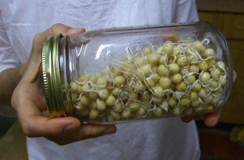 how to grow thick mung bean sprouts